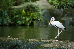 White egret at the edge of a pond. In a bird park Royalty Free Stock Images