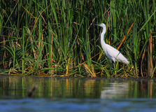 White egret Egreta garzeta fishing Stock Photos