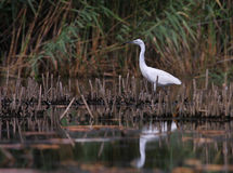 White egret Egreta garzeta fishing Royalty Free Stock Image