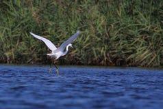 White egret Egreta garzeta in flight. White egret Egreta garzeta flying in the swamp on a summer day Stock Image