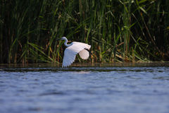 White egret Egreta garzeta in flight Stock Image
