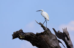 White egret, egretta garzetta, perching on tree Royalty Free Stock Photography