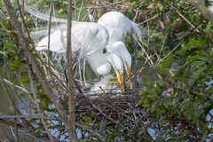 White Egret Family on Nest Stock Photography