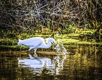 White Egret. Feeding at chincoteague island with his reflection looking back at him Royalty Free Stock Images