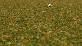 White egret on field of water chestnuts in Danube delta in Romania. A little egret (Egretta garzetta) on a field of water chestnuts on the Danube delta in royalty free stock photo