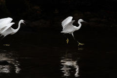 White egret fight Royalty Free Stock Image