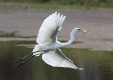 White egret with fish. Stock Image