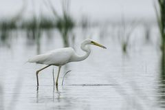 White egret fishing Royalty Free Stock Photos