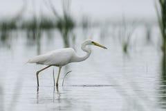 White egret fishing Royalty Free Stock Photos