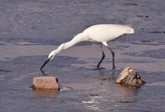 White egret fishing in marsh Royalty Free Stock Image