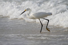 White Egret fishing in the waves Royalty Free Stock Images