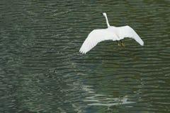 White egret in flight Royalty Free Stock Image