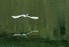 White egret in flight Stock Photo