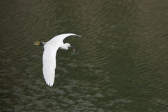 White egret in flight Royalty Free Stock Image