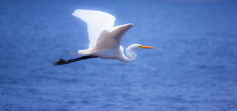 White egret in flight Stock Photo
