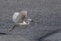 White egret flight Stock Photo