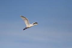 White egret in flight Royalty Free Stock Photo