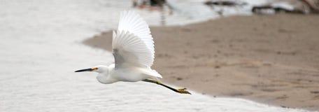 White Egret in flight over San Jose del Cabo nature preserve lagoon in Baja California Mexico. BCS royalty free stock image