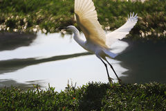 White egret fly Royalty Free Stock Photography
