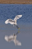 White egret flying Stock Photo
