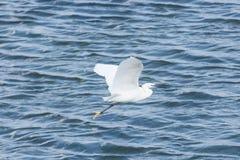 White egret flying across lagoon royalty free stock image