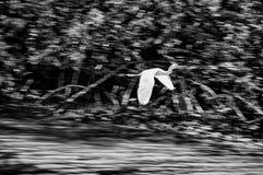 White Egret Flying Royalty Free Stock Photo