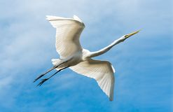 White Egret Flying Against Blue Sky Royalty Free Stock Images