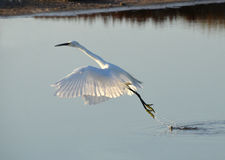 White egret flying away. White egret jumping over the lake at sunset Royalty Free Stock Photo