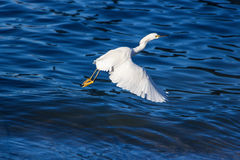 White egret flying with blue water background Stock Images