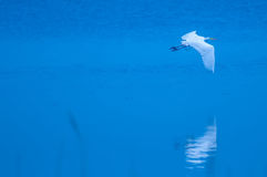White egret flying over blue  water Royalty Free Stock Images