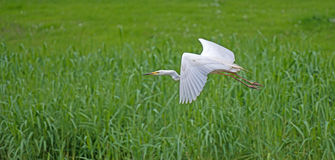White egret flying over a field. In summer Royalty Free Stock Photography