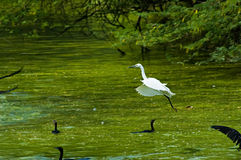 White Egret flying over lake Royalty Free Stock Image