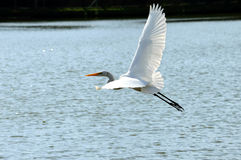 White Egret Flying over a lake. In a sunny day Royalty Free Stock Photos