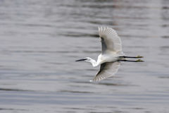 White egret flying on silver water background Stock Photos