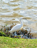 White Egret on the grass by the lake. White Egret by the lake Royalty Free Stock Photo