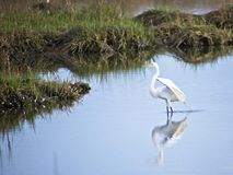 White Egret in Grass. Reflections of white egret in sea grass Stock Image