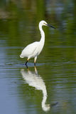 White egret Royalty Free Stock Image