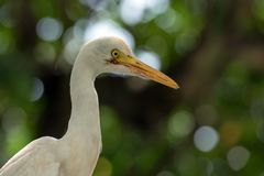 White egret with green background. White egret looking for fish and another small animal at swamp royalty free stock photo