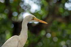 White egret with green background. White egret looking for fish and another small animal at swamp stock photos