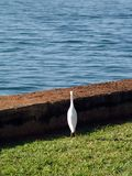 White Egret in Hawaii stock photography