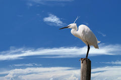White egret heron on the blue sky background Stock Photo