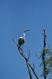 White egret, heron in the Danube delta Stock Photo
