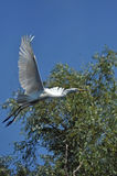 White egret, heron in the Danube delta Royalty Free Stock Photos