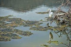 White egret heron while eating a fish Royalty Free Stock Image