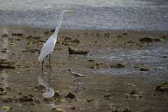 White egret heron portrait Stock Photo