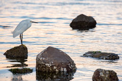 White egret heron portrait. On the beach sand background Royalty Free Stock Image