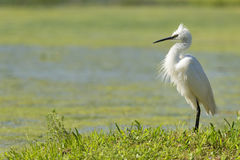 White egret heron portrait. On the green swamp background Stock Image