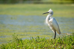 White egret heron portrait. On the green swamp background Royalty Free Stock Images