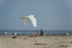White egret heron portrait Royalty Free Stock Photography