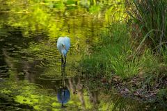 White Egret on the hunt. White egret wading in pool stalking its prey Stock Photo